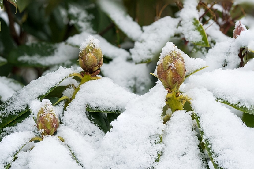 Při větším množství sněhu rostliny bráníme před poškozením