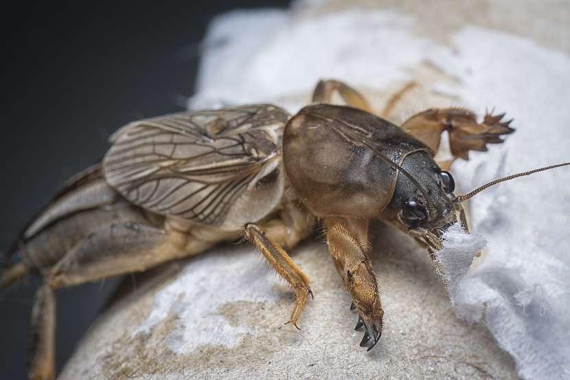 Krtonožka velký škůdce