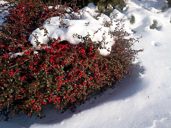 Sníh na zahradě dokáže hodně pomoci rostlinám (Zdroj: Jan Kopřiva)