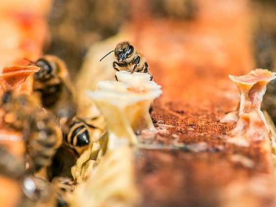 Včela medonosná je považována za výjimečný hmyz a je označována za jeden z nejúžasnějších superorganismů na Zemi (Zdroj: Jaroslav Vogeltanz)