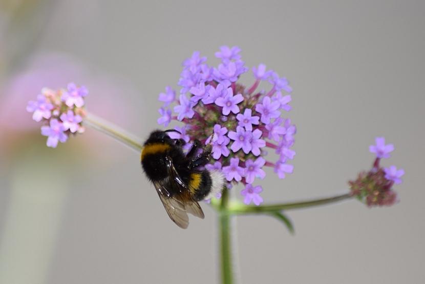 Verbenu včelky i čmeláci milují