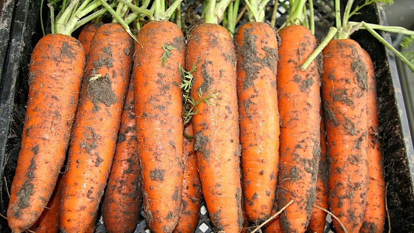 Nad mrkev ze zahrady není: pozdní hybridní odrůda KOLOSEUM F1
