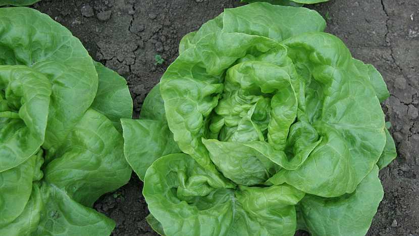 Hlávkový salát: jarní odrůda Major s výraznou rezistencí k plísni salátové