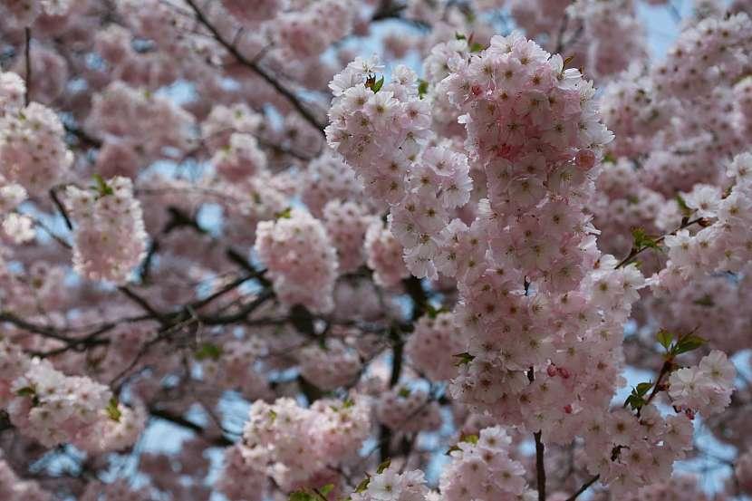 Okrasné jabloně a třešně