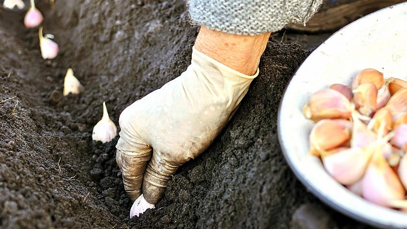 Jarní výsadba česneku: vysazování stroužků na záhon