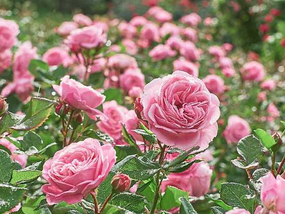 Růže na záhonech v červnu jen září (Zdroj: Shutterstock)