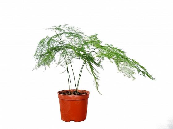 Asparagus setaceus je krásná dekorativní rostlina, jiná jeho odrůda se využívá v kuchyni (Zdroj: Depositphotos)