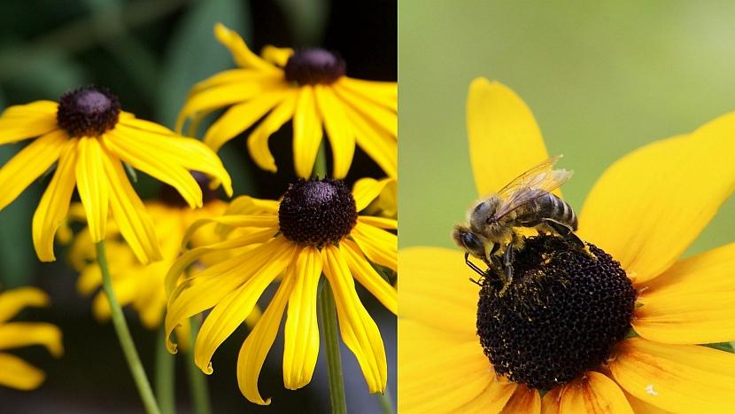 Přilákejte včelky na hostinu: Třapatka (Rudbeckia)