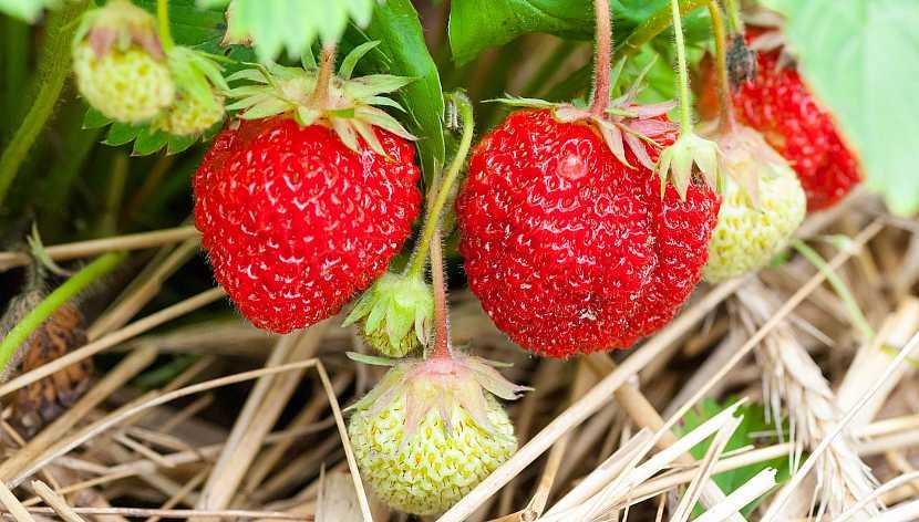 Jak vypěstovat čisté jahody: Mulčování