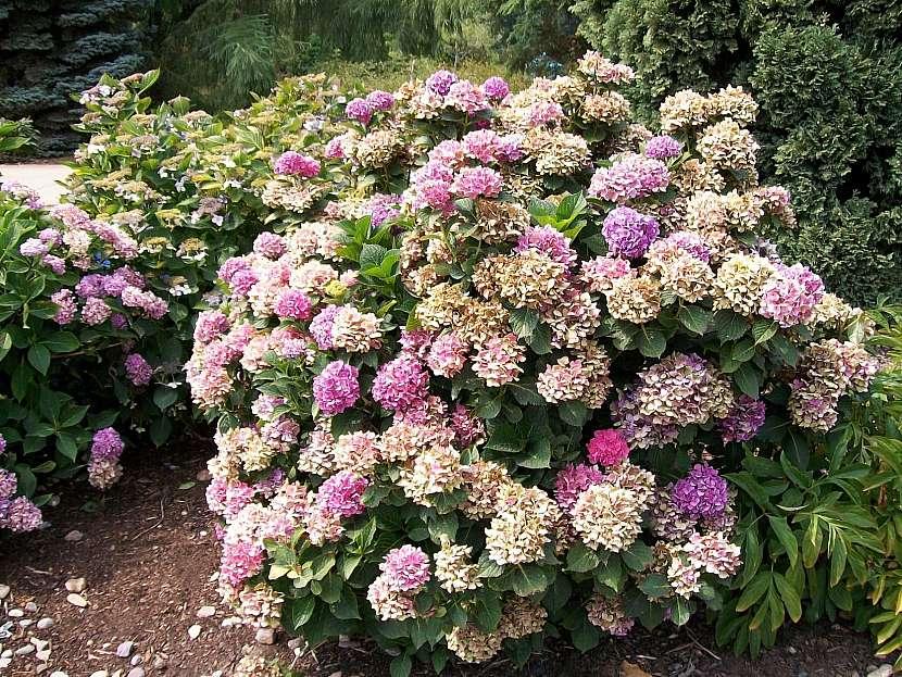 Suché květy hortenzií necháváme na keři až do příštího jara