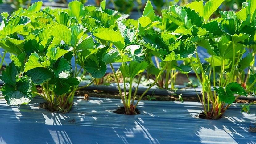 Předpověď počasí a zahrada: pěstování jahod na černé fólii
