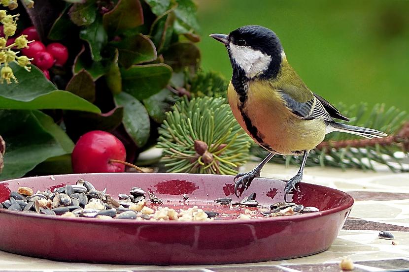 Krmítka pro ptáky: sýkorky si nejvíce pochutnají na slunečnicovém semínku
