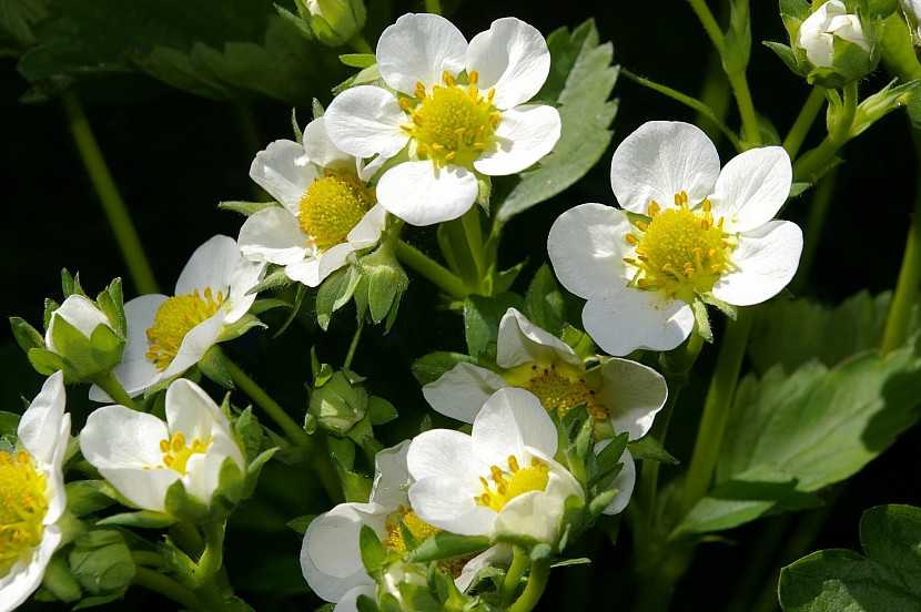 Postarejte se o kvetoucí jahodníky