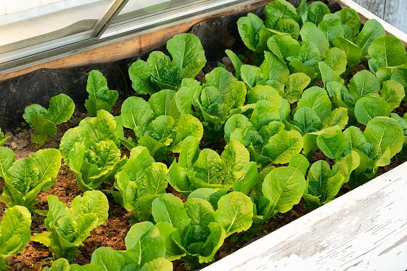 Salát v pařeništi