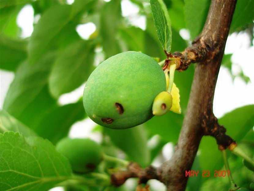 Poškození plodu pilatkou švestkovou
