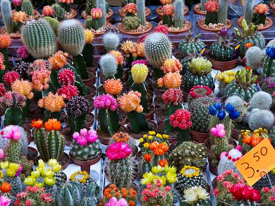 Troufnete si na to? Vypěstovat kaktusy od semínka v takovou kvetoucí krásu není až tak těžké, pokud tedy víte, jak na to (Zdroj: Depositphotos)