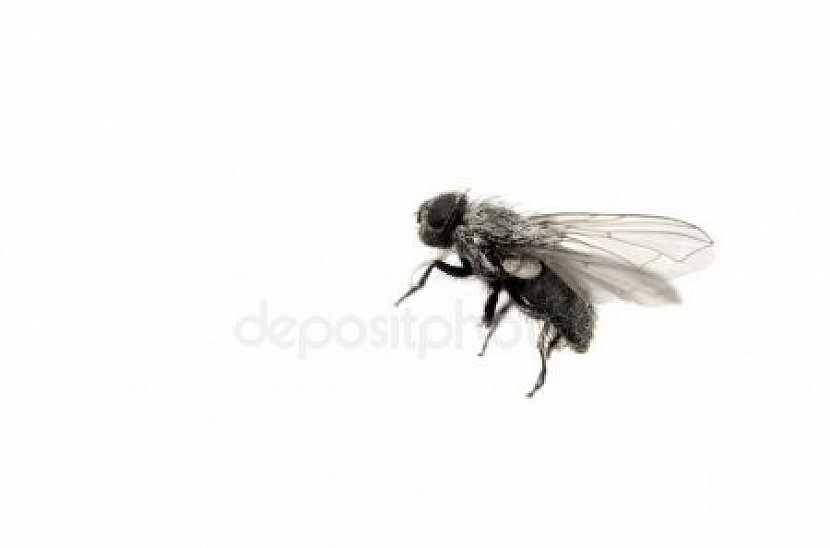 Moucha domácí patří mezi opravdu otravný hmyz