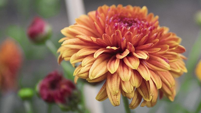 Chryzantémy už se chystají ke květu...