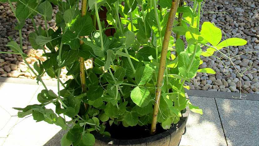 Jak pěstovat hrášek v přenosné nádobě na zahradě i na balkoně pro radost (nejen) dětem 7