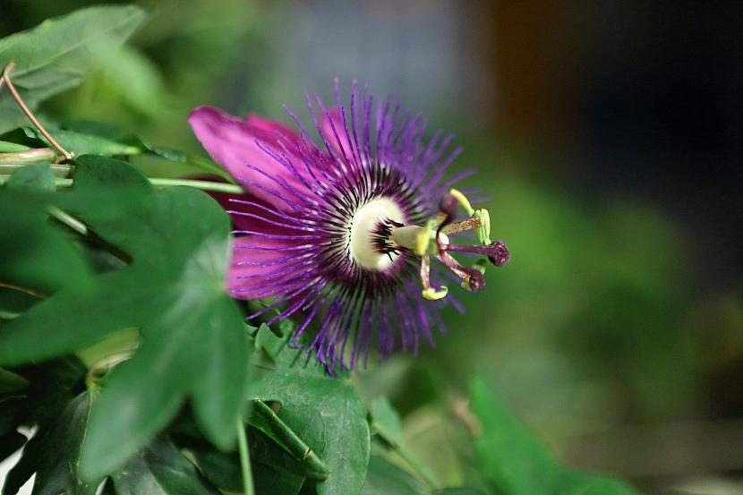 Jak pěstovat oblíbené květiny našich babiček: Mučenka, blahokeř a voskovka 2