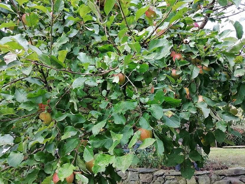 Podzimní a zimní odrůdy jablek jsou vhodné ke konzumaci i uskladnění