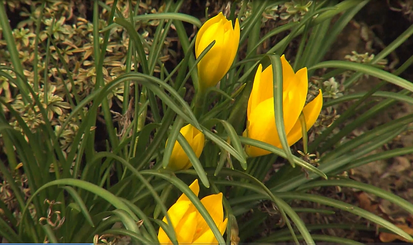 Sternbergie: Zářivá sluníčka pozdně podzimní zahrady 2