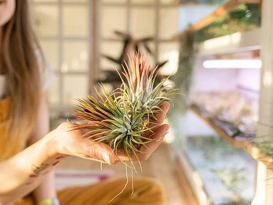 Vzdušné rostliny jsou křehké krásky, které vás již na první pohled zaujmou tím, že k svému životu nepotřebují žádnou půdu (Zdroj: Depositphotos (https://cz.depositphotos.com))