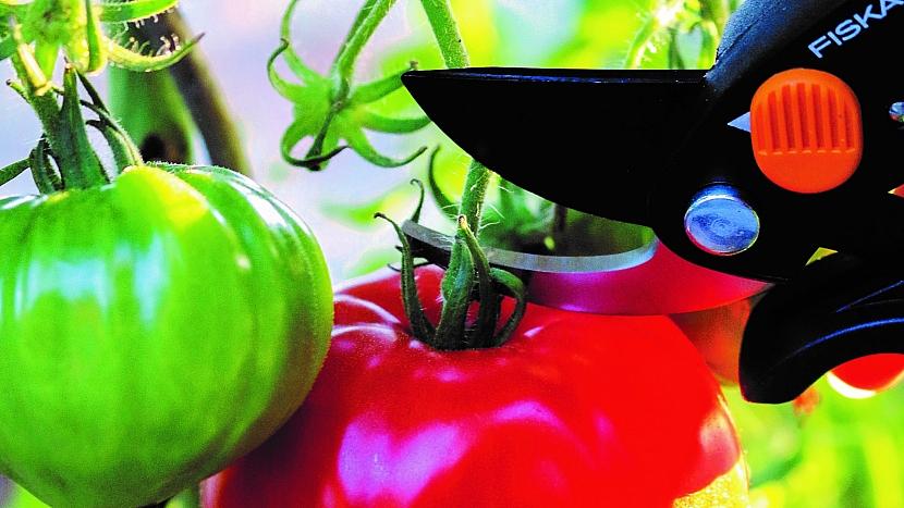 Jak správně sklízet rajčata