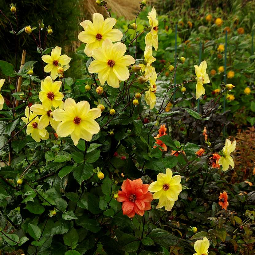 Jiřiny jednoduchého typu květenství