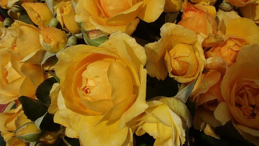 5 tipů na sázení růží: růže mnohokvětá Golden Years