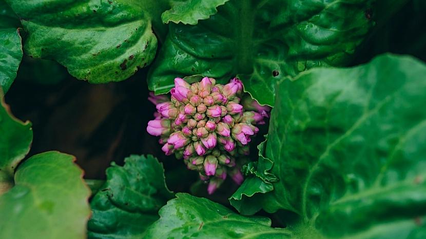 Běžně pěstované bergénie jsou mrazuvzdorné, otužilé a nenáročné; rozkvétají brzy na jaře, většinou v březnu