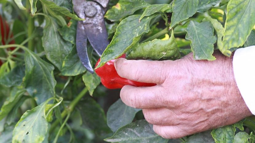 Jak správně sklízet papriky