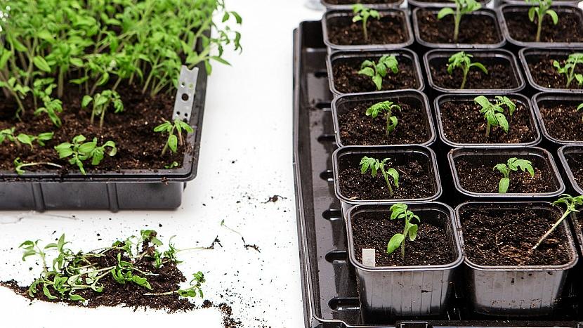 Pěstování rajčat: po prvním vytvoření listů rostlinky rozsaďte do malých květináčků