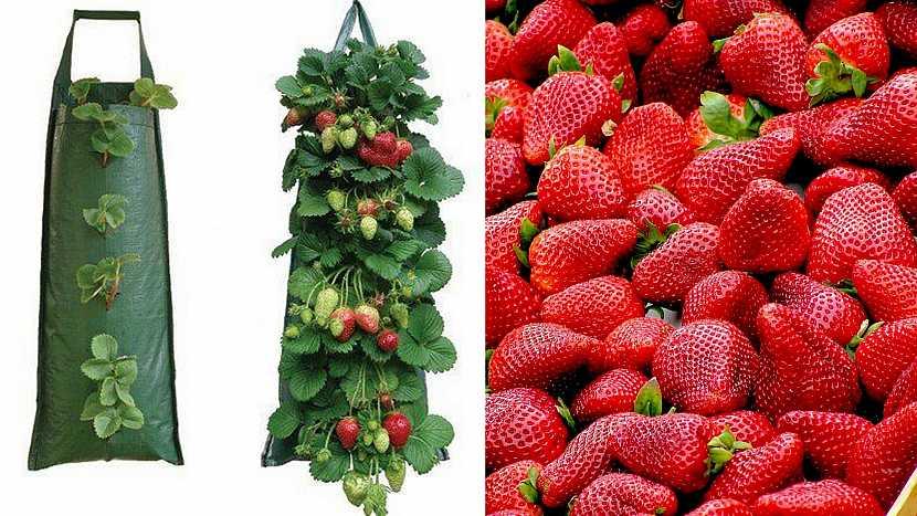 Jak vypěstovat čisté jahody: V kapsách
