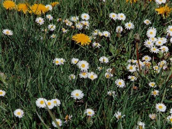 TRAVIN - Trávníkové hnojivo proti plevelům