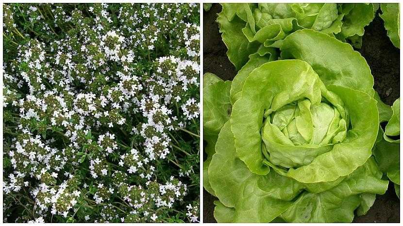 Tymián obecný (Thymus vulgaris) ochrání hlávkový salát