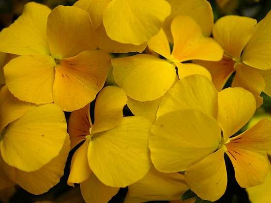 Zlatá koruna je odrůdou macešky a na záhoně opravdu zazáří (Zdroj: Daniela Dušková)