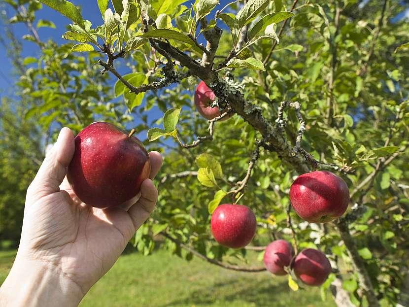 Česání jablek