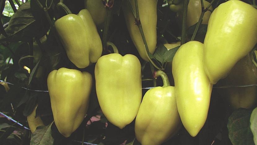 Paprika roční (Capsicum annuum): odrůda Slovana F1