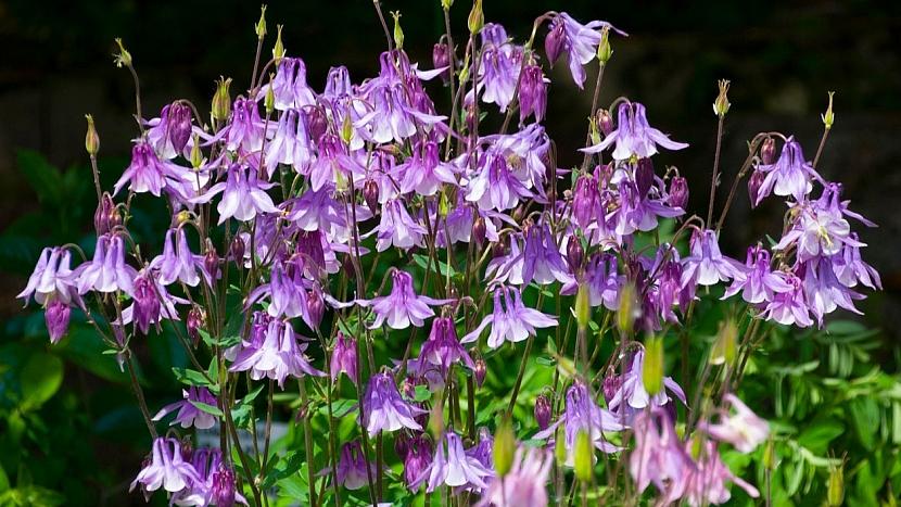 Jedovaté rostliny: orlíček obecný (Aquilegia vulgaris)
