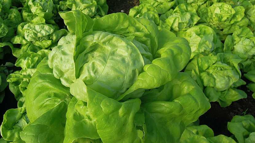 Hlavíkový salát: raná odrůda Deon má středně velké hlávky