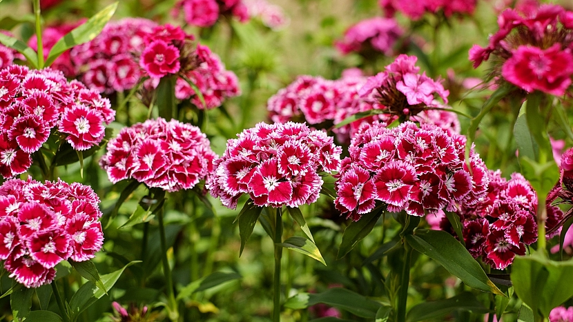 Předpověď počasí a zahrada: přesazujeme bylinky a trvalky; hvozdík bradatý (Dianthus barbatus)