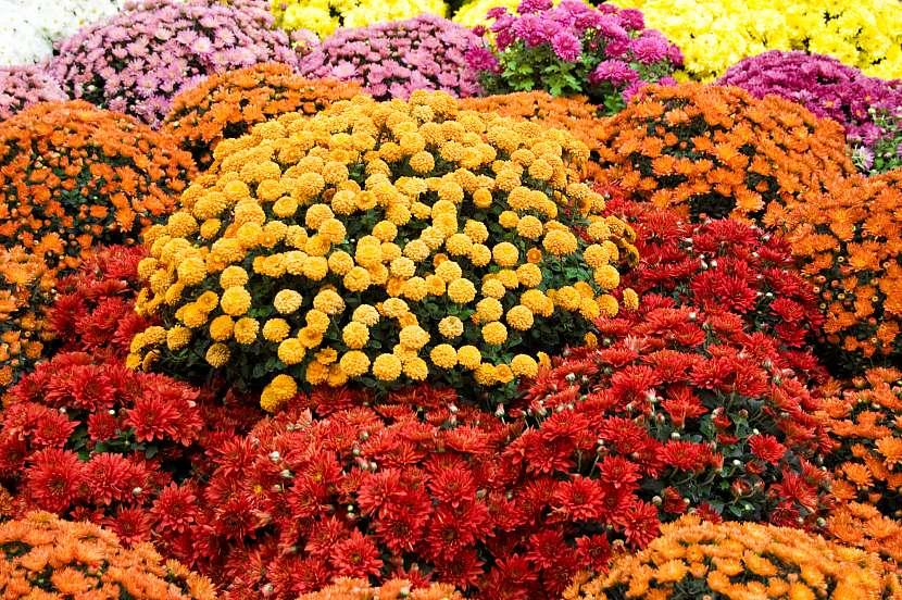 Krása podzimního kvetení chryzantém