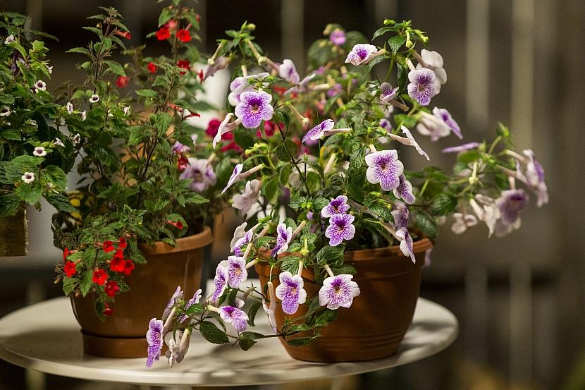 Honzík, kouzelná květina našich babiček, se vrací na výsluní 1