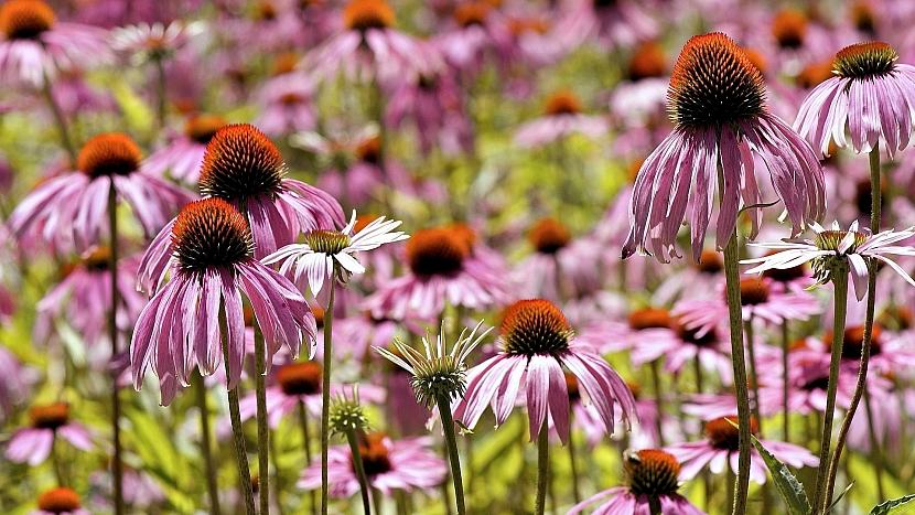 Předpověď počasí a zahrada: co dělat, aby trvalky dlouho kvetly
