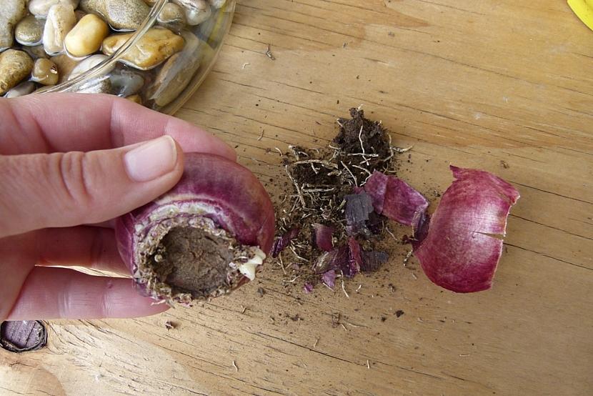 Rychlení hyacintů: očistěte cibule