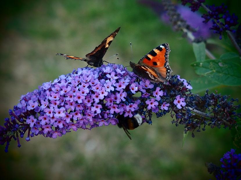 Hostina pro motýly a včely