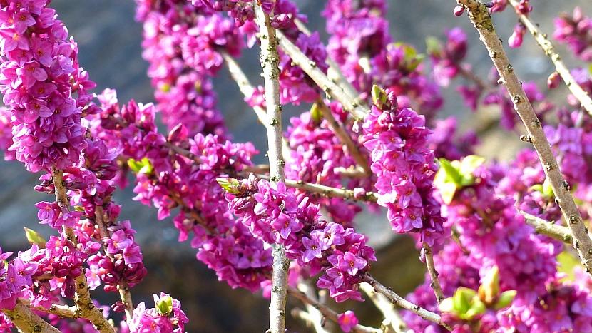 Lýkovec, vilín a zimokvět: lýkovec jedovatý (Daphne mezereum)