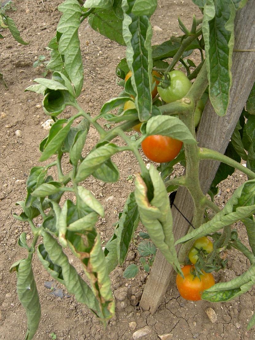 Svinování listů rajčat