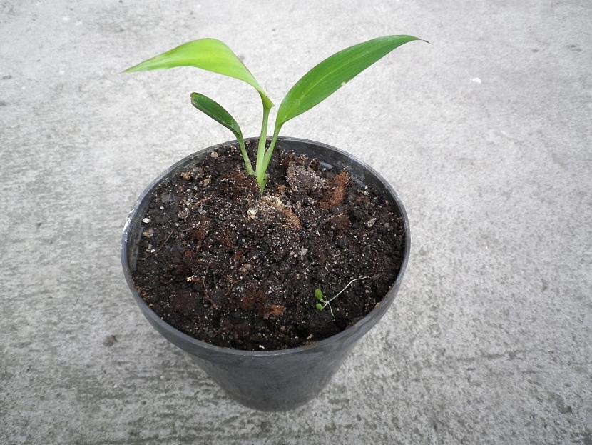Mladá rostlina zázvoru v květináči